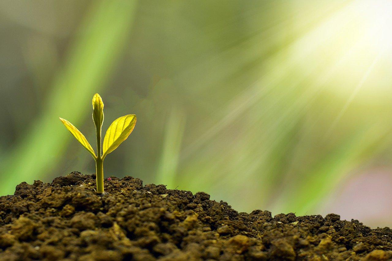 צמח צעיר באדמה